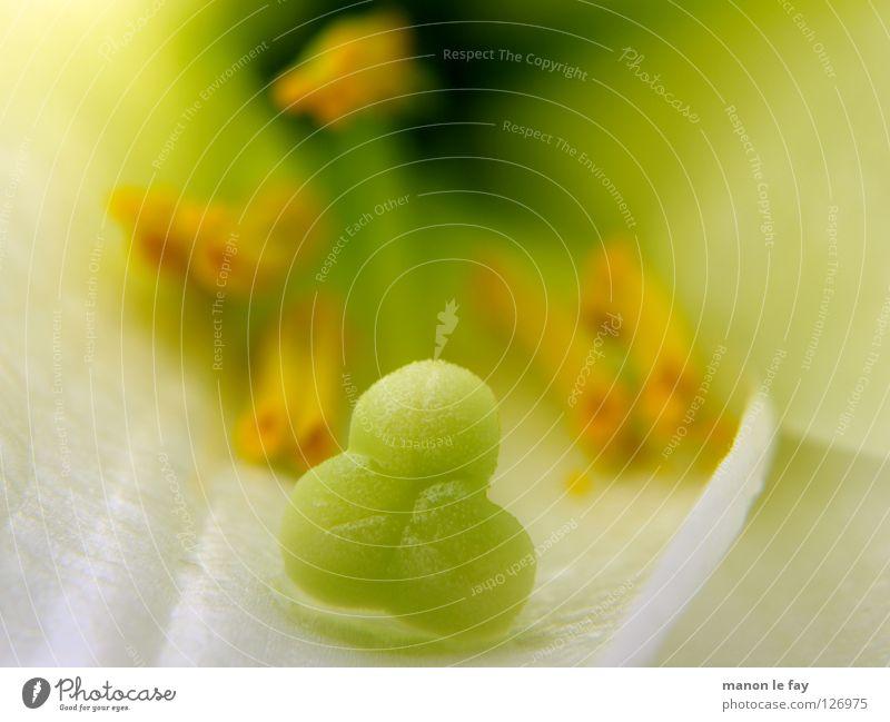 Lilly grün weiß gelb Pflanze Blüte skurril Leben Blütenstempel Staubfäden zart Pollen Lilien Licht halbdunkel Liliengewächse Blume Makroaufnahme Nahaufnahme