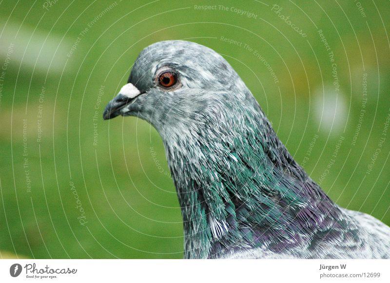 Taubenblick grün Auge grau Gras Park Vogel Feder Taube Schnabel