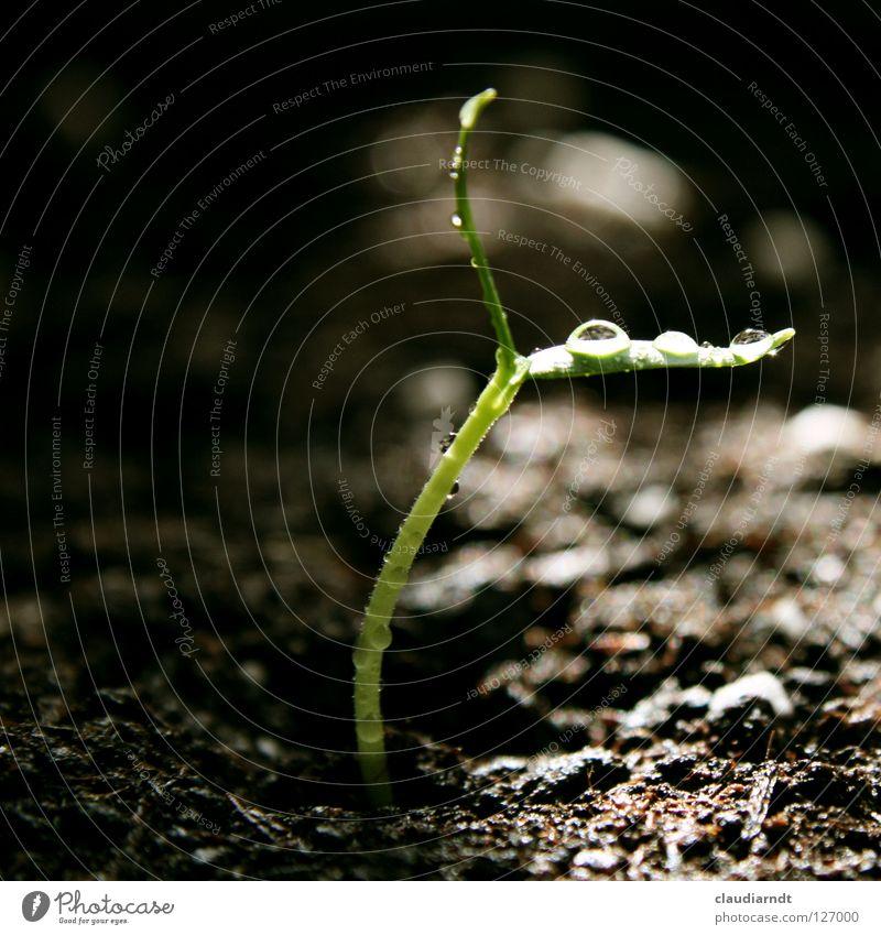 Morgendusche keimen Pflanze Jungpflanze Aussaat Biologie Wachstum Reifezeit Paprika Geburt klein zierlich zerbrechlich zart grün Wassertropfen Keim sähen