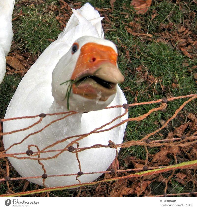 Weihnachtsbraten Tier Vogel Gans Entenvögel Federvieh Neugier Wachsamkeit Schnabel Daunen Bauernhof dumm klug Grünpflanze Wiese Ernährung weiß rot knusprig