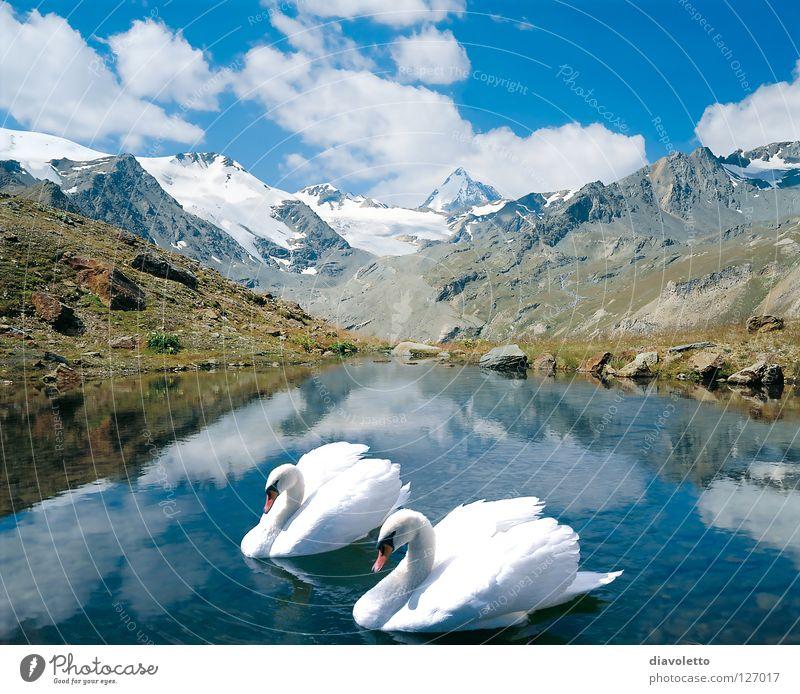 Only together... Gebirgssee Schwan Vogel See Zusammensein Gewässer Gipfel Romantik schön Pflanze Tier weiß Wolken Sommer Natur Liebe unschuldig Federvieh weich