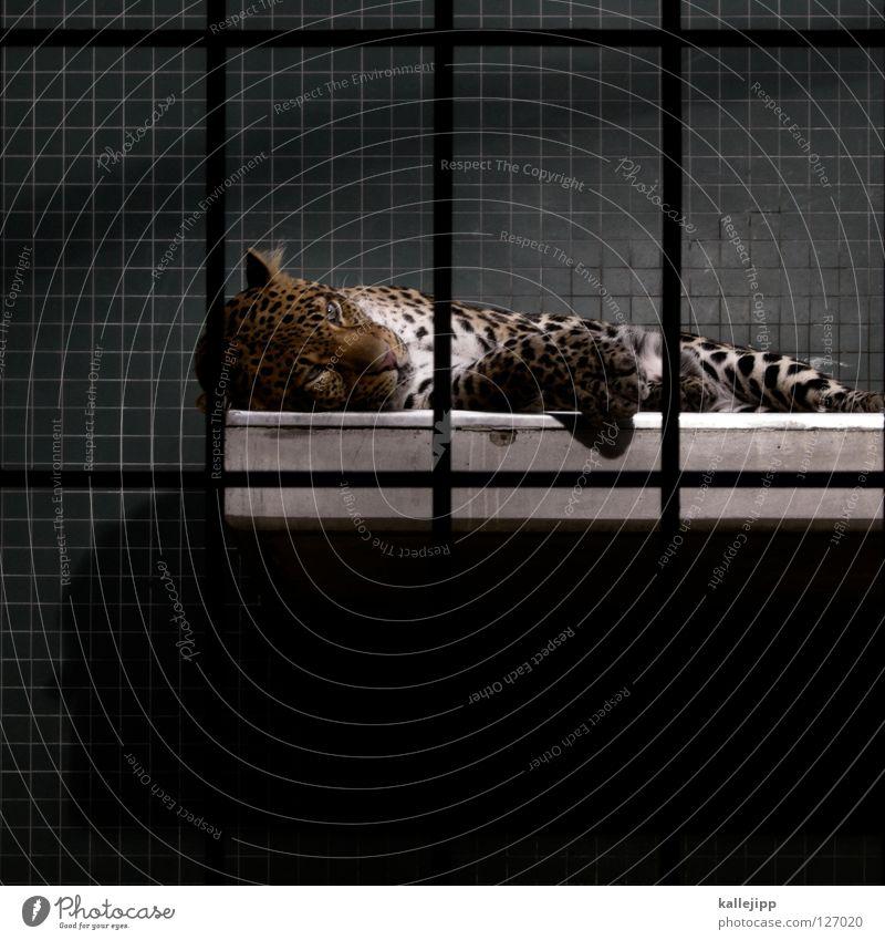 ausgelebt Zoo Käfig gefangen Lebewesen Qual Landraubtier Raubkatze Katze Leopard Fleischfresser Muster Gitter Säugetier schlafen Fliesen u. Kacheln liegen
