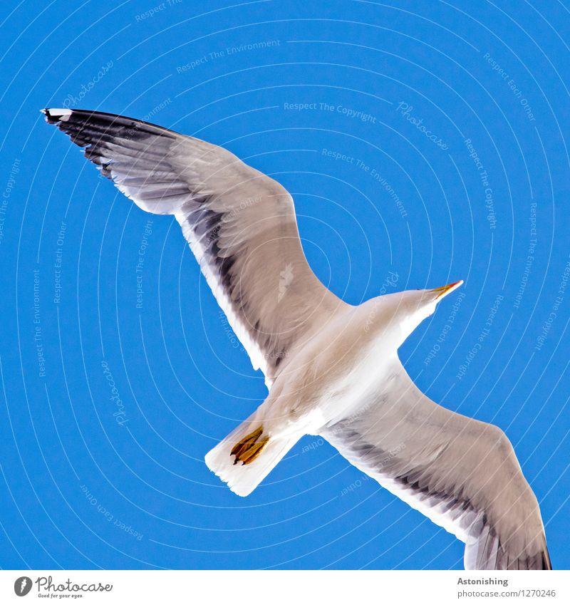 Möwe im Flug III Himmel blau Sommer weiß Tier schwarz Wärme grau Beine fliegen Vogel oben Wetter Luft elegant Wildtier