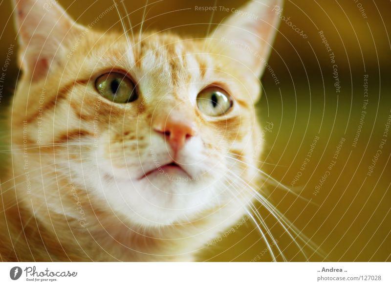 Red Tiger 8 Fell Katze rot Schnurrhaar Säugetier tigi Hauskatze mietzi cat kitten schurrhaare getigert Nase Auge Farbfoto