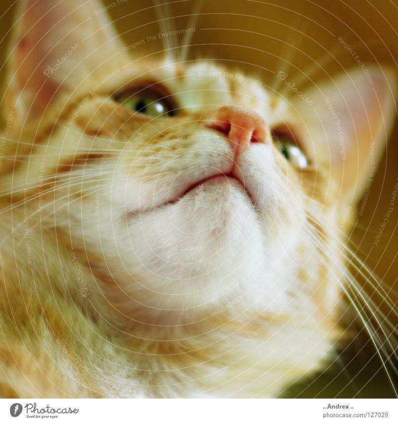 Red Tiger 9 Fell Katze rot Schnurrhaar Säugetier tigi Hauskatze mietzi cat kitten schurrhaare getigert Nase Auge Farbfoto
