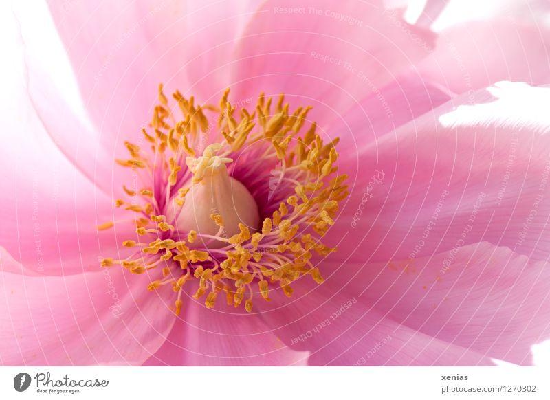 Makroaufnahme einer Pfingstrose in Rosa mit gelben Staubblättern Blüte Pflanze Frühling Blume Rose rosa zart schön Detailaufnahme Duft Blühend