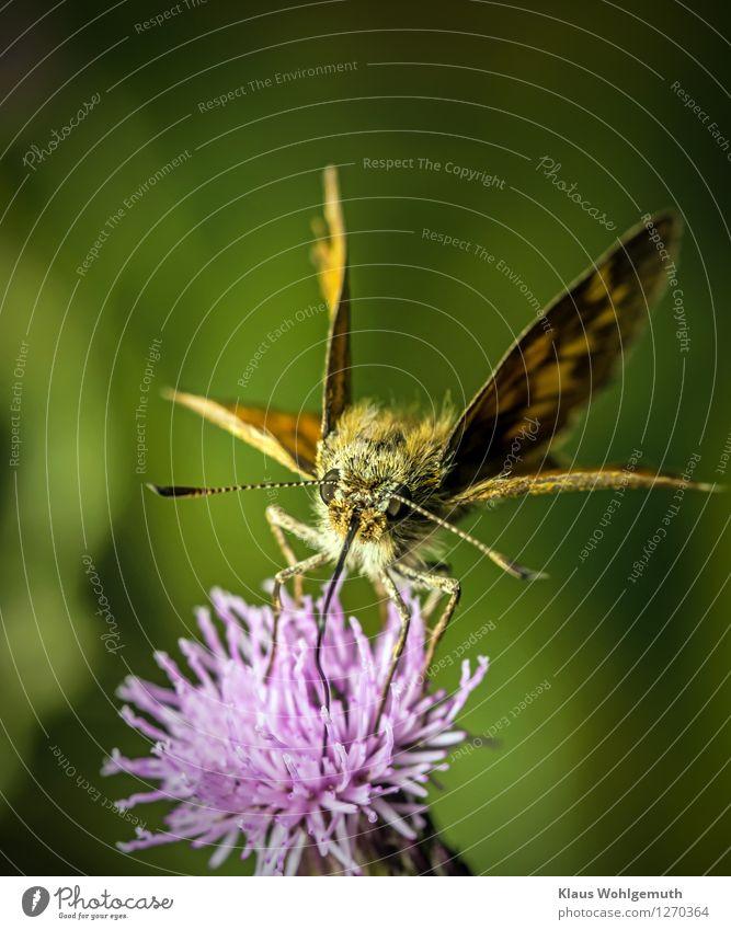 Frühstückspause Natur Pflanze grün Sommer Tier Umwelt Blüte Wiese Garten fliegen braun Park Behaarung Flügel Schönes Wetter trinken