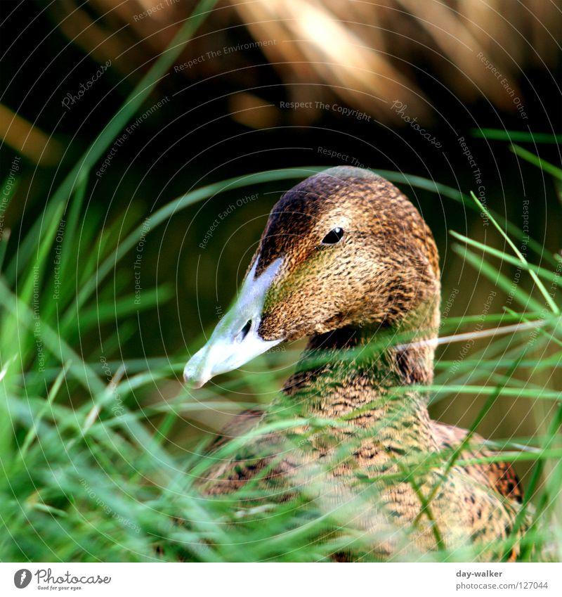 Spy Games Erpel Vogel Schnabel Feder Pflanze Tier scheckig Gras Wiese Teich Zwinkern spionieren ducken grün braun Ente wasservogel Wasser schärfeverlauf