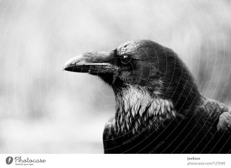 the crow schön Zoo Natur Tier Wildtier Vogel 1 fliegen glänzend ästhetisch außergewöhnlich stark schwarz weiß Rabenvögel Krähe Kolkrabe Tiefenschärfe Feder