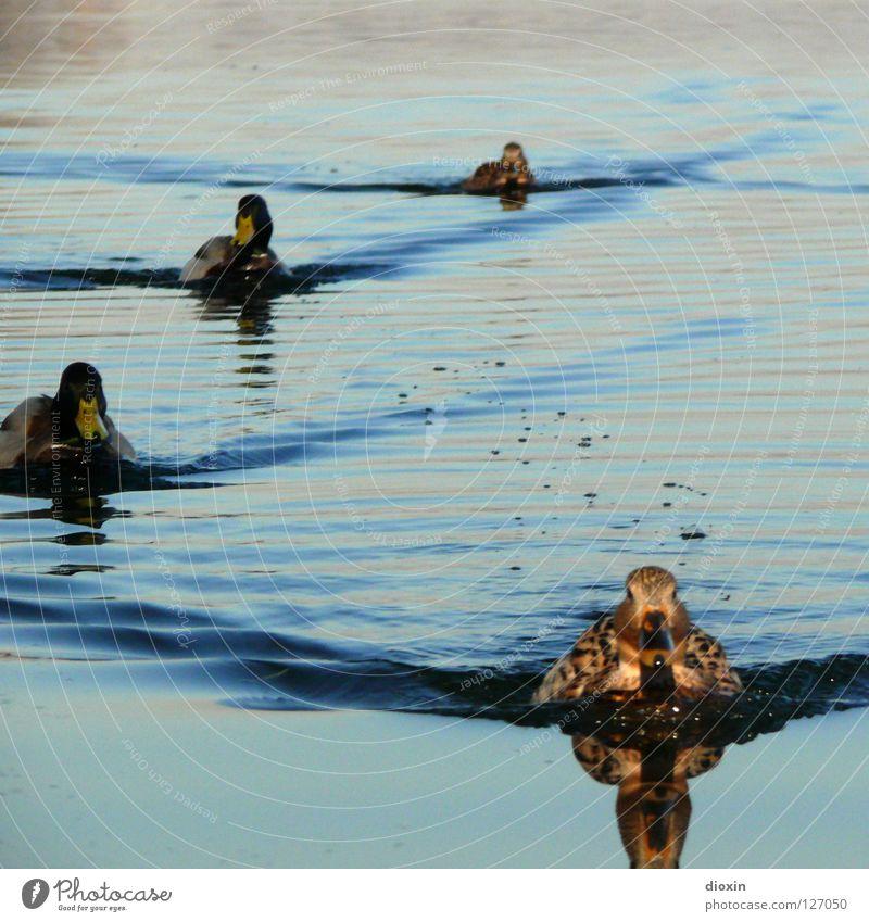 Duck Invasion Vogel Erpel Formation Reflexion & Spiegelung Wellen See Teich Wasservogel Ente Natur Im Wasser treiben Schwimmen & Baden Tiergruppe Ententeich