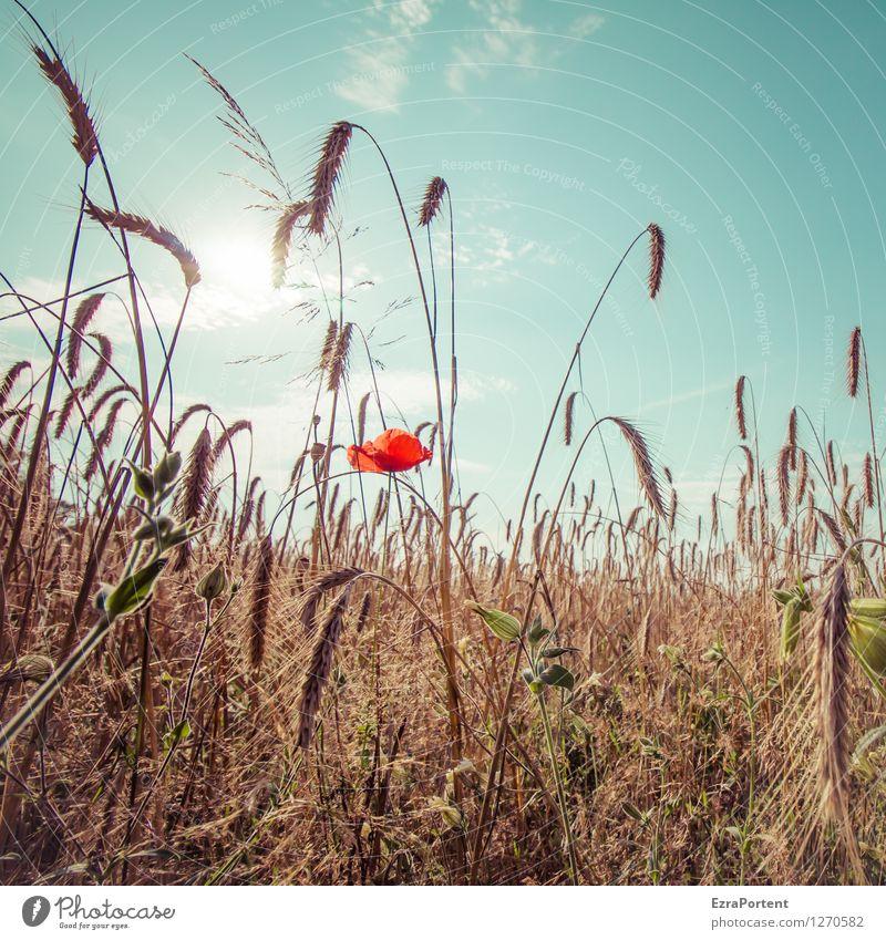 inmitten Umwelt Natur Landschaft Pflanze Himmel Wolken Sonne Sommer Klima Klimawandel Wetter Schönes Wetter Wärme Blume Blüte Nutzpflanze Feld natürlich trocken