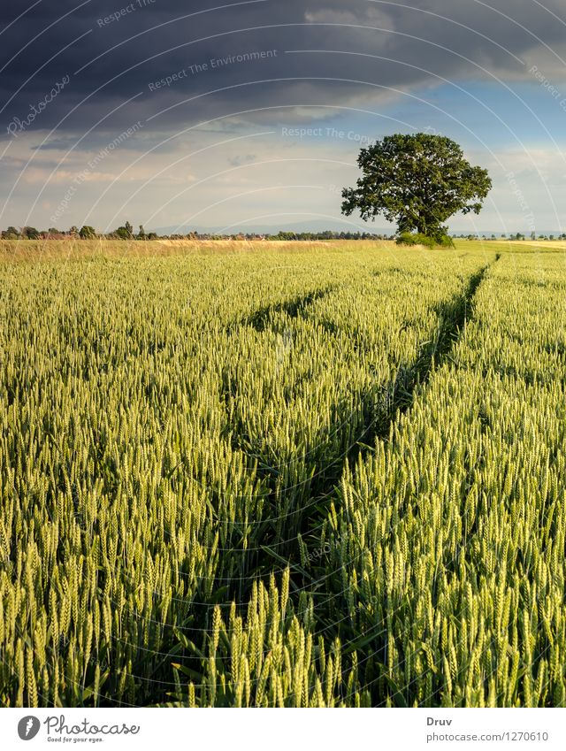 cornfield Natur Sommer Baum Landschaft Wetter Feld Wachstum planen Unwetter Großgrundbesitz Gewitterwolken Getreidefeld