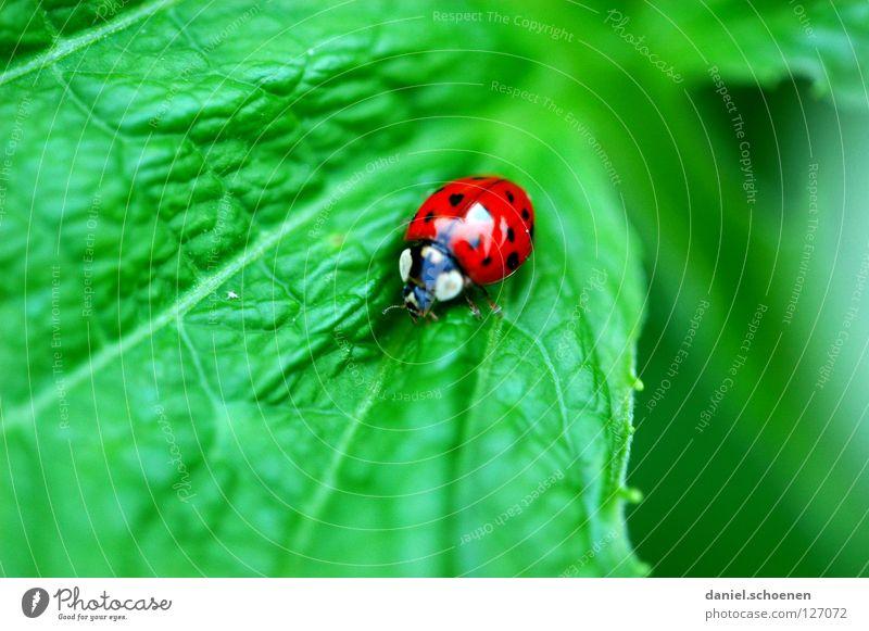 Rotgrünkontrast rot Sommer Blatt Glück Insekt Symbole & Metaphern Marienkäfer Käfer krabbeln Blattadern