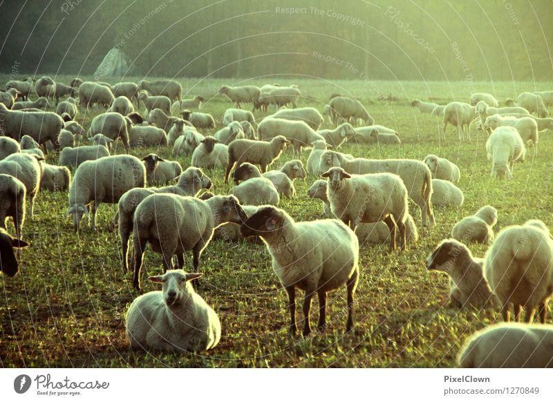 Festival der Schafe Natur grün Sommer Tier gelb Wiese Stimmung Feld Idylle ästhetisch Tiergruppe Landwirtschaft Dorf Fell trashig Fressen