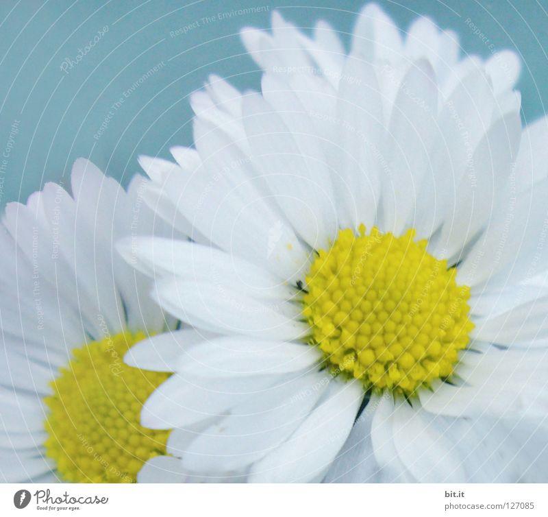 JUBILÄUMSBLÜMCHEN-250 blättrig blau weiß schön Blume Blatt Frühling Blüte Zufriedenheit rund Romantik Symbole & Metaphern rein Kräuter & Gewürze Gänseblümchen