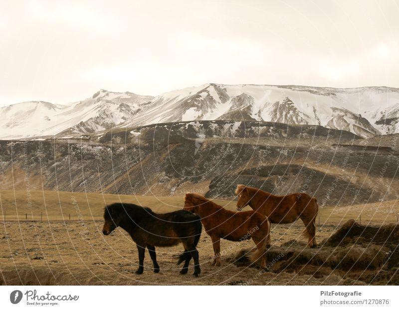 Isländer Umwelt Natur Landschaft Schnee Gras Feld Hügel Berge u. Gebirge Gipfel Schneebedeckte Gipfel Pferd Island Ponys 3 Tier Zaun ästhetisch Unendlichkeit