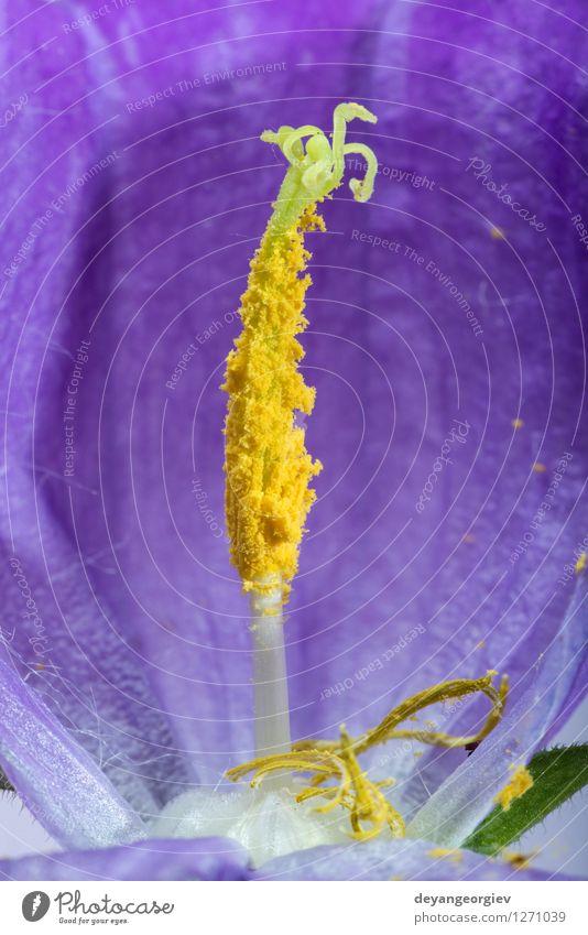 Violette Blütenblüte. Natur blau Pflanze schön Farbe weiß Blume natürlich Garten rosa frisch Beautyfotografie Botanik Blütenblatt tropisch