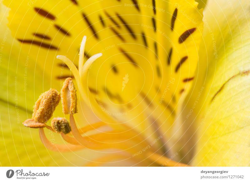 Makro Schuss Blume schön Sommer Garten Natur Pflanze Blüte frisch natürlich gelb rosa rot weiß Farbe schließen nach oben Hintergrund Beautyfotografie Lilien
