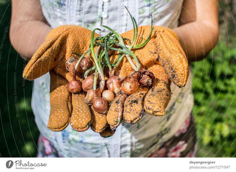 Hände halten Betriebsfühler in einem Garten Gemüse Gartenarbeit Frau Erwachsene Hand Natur Pflanze Erde Frühling Wachstum frisch natürlich grün Knolle Halt