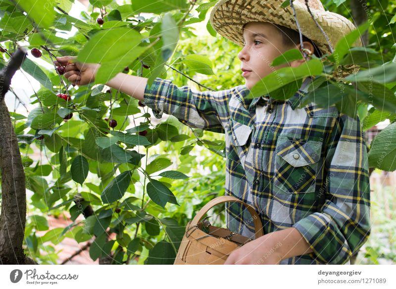Kinderernte Morello Kirschen Frucht Essen Freude Sommer Garten Gartenarbeit Mädchen Familie & Verwandtschaft Kindheit Hand Natur Baum frisch klein lecker