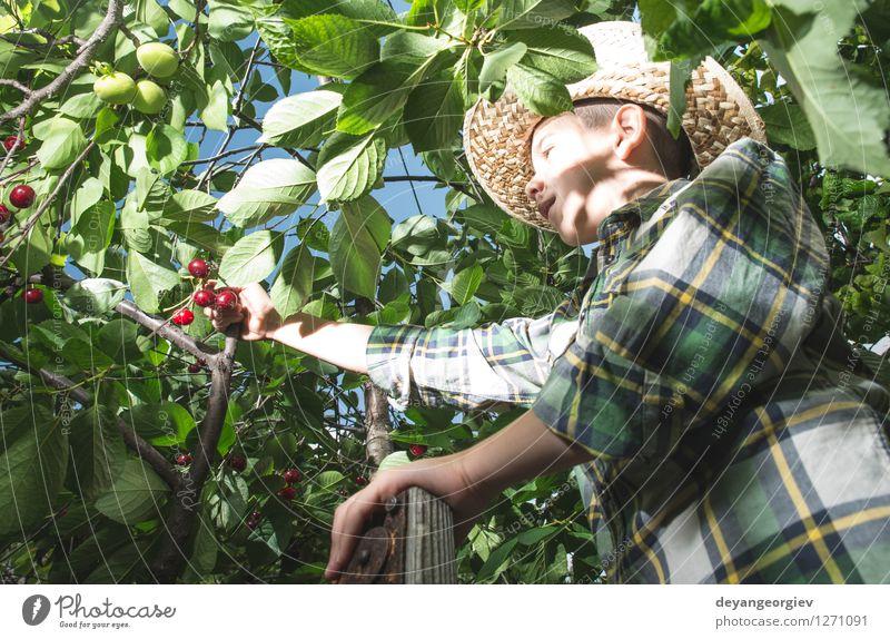 Kinderernte Morello Kirschen Natur grün Sommer Baum Hand rot Freude Mädchen Essen klein Garten Frucht frisch Kindheit niedlich