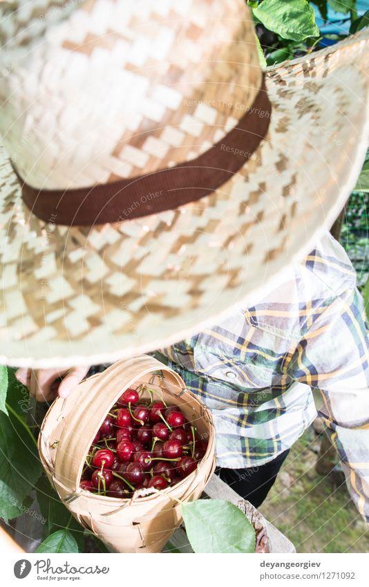 Kinderernte Morello Kirschen Natur grün Sommer Hand rot Freude Mädchen Essen klein Garten Frucht frisch Kindheit niedlich Jahreszeiten