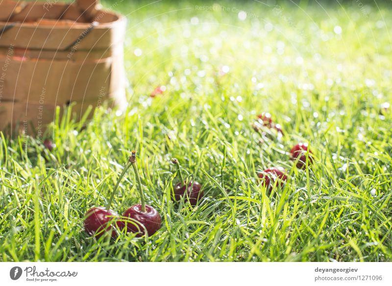 Morello Kirschen im Korb auf der grünen Wiese Frucht schön Sommer Garten Gartenarbeit Natur Gras Blatt frisch natürlich saftig rot süß Gesundheit Lebensmittel