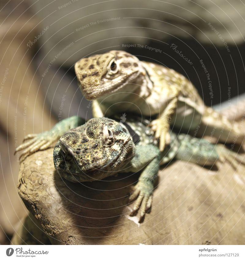Liebe unter Halsbandleguanen grün Freude Tier gelb Holz Glück Freundschaft Haut Elektrizität beobachten Neugier Wüste trocken eng Reptil Krallen