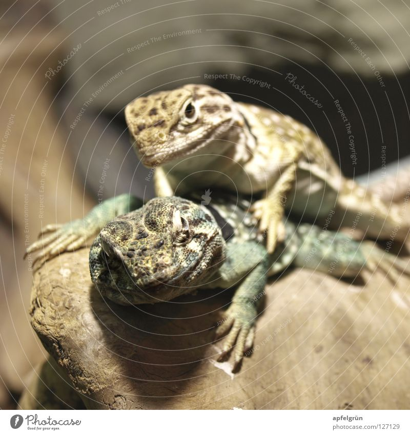 Liebe unter Halsbandleguanen Mangel Kostbarkeit Neugier eng Leguane Reptil Echsen Tier Terrarium Freundschaft trocken grün gelb Krallen Holz Innenaufnahme