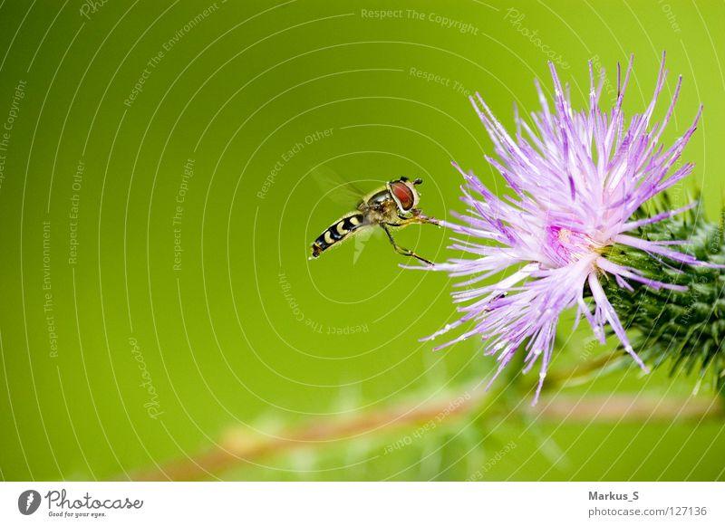 Andockmanöver Natur Blume grün Tier Fliege fliegen Insekt Schweben