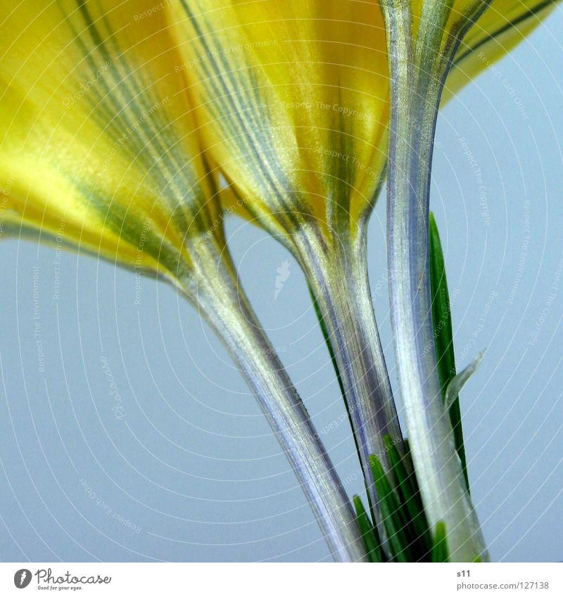 KroKus Natur Blume grün blau Pflanze gelb Blüte Frühling orange 3 Kraft Perspektive Ordnung Streifen Stengel unten
