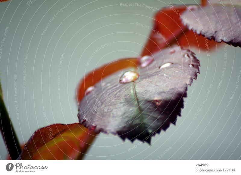 Rostrot Gedeckte Farben Makroaufnahme Schwache Tiefenschärfe ruhig Natur Wassertropfen Regen Pflanze Blatt Park Tropfen braun grau Traurigkeit quer Ast