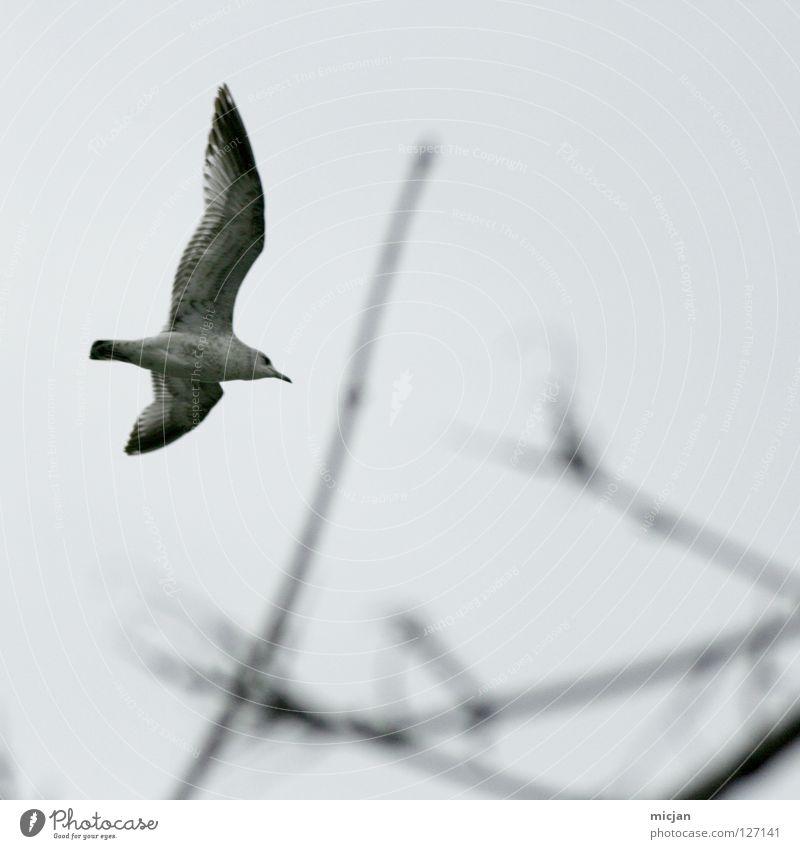 Mafied the Möwe Vieh Tier Gier Vogel Schweben gleiten Baum Unschärfe Spannweite Meer See Luft Schnabel grau trist Herbst Frieden drecksviech fliegen Ast Flügel