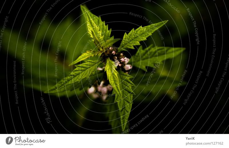 wurfstern Waldrand Pflanze Sträucher Blatt Heilpflanzen grün schwarz Zacken stachelig Makroaufnahme Wachstum Grünpflanze grün-gelb Kontrast Stachel Unkraut