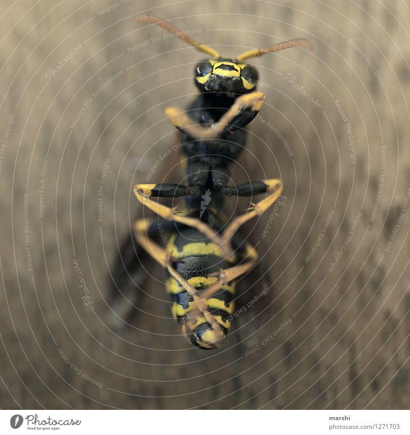 Wespenleben Natur Tier schwarz gelb Stimmung Angst Wildtier Flügel bedrohlich Tiergesicht Fühler Stachel Totes Tier Wespennest