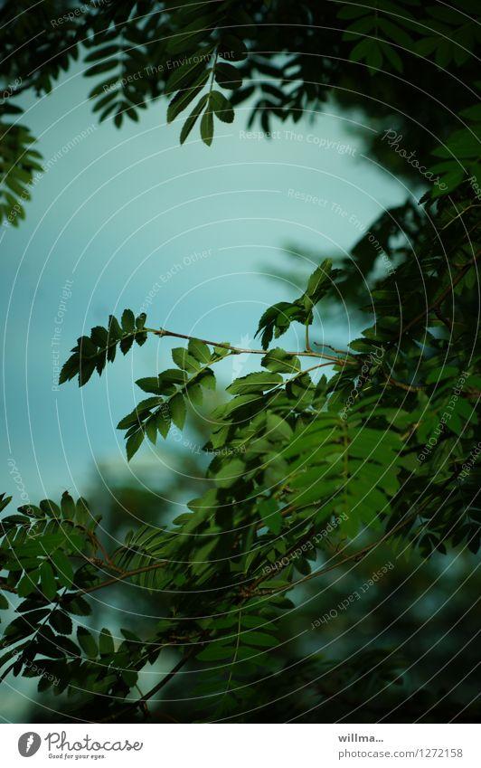 sommerabend *666* Natur Pflanze grün Sommerabend grün-blau Vogelbeerbaum Ebereschenblätter