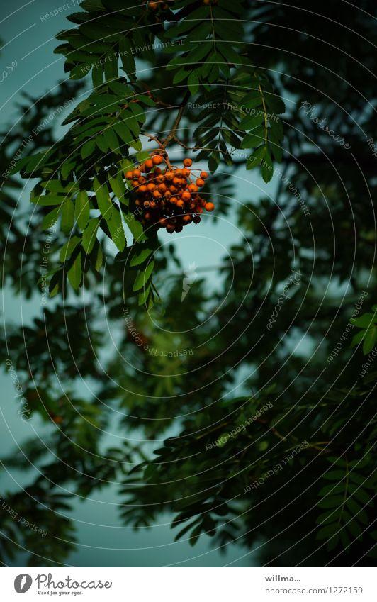 dr vugelbeerbaam grün rot dunkel natürlich Fruchtstand Vogelbeeren Vogelbeerbaum Ebereschenblätter