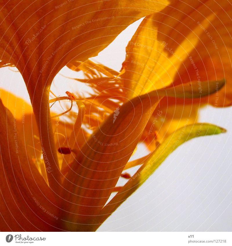 KapuzinerBlume Natur Sonne Pflanze Sommer gelb Lampe Blüte Kraft orange gold Mitte niedlich Pollen