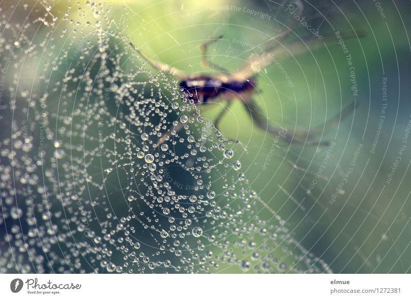 Die Perlensammlerin. Natur Tier Wassertropfen Wiese Spinne Spinnennetz Netz Netzwerk Tropfen Perlenkette Reichtum hängen warten gruselig listig blau grün Macht