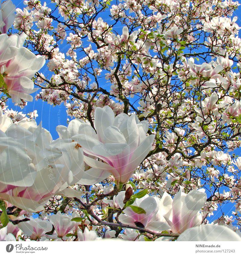 MagnolienBaum Glück schön Natur Frühling Klima Wärme Blume Blüte Blühend Fröhlichkeit blau braun rosa schwarz weiß Stimmung Frühlingsgefühle Perspektive
