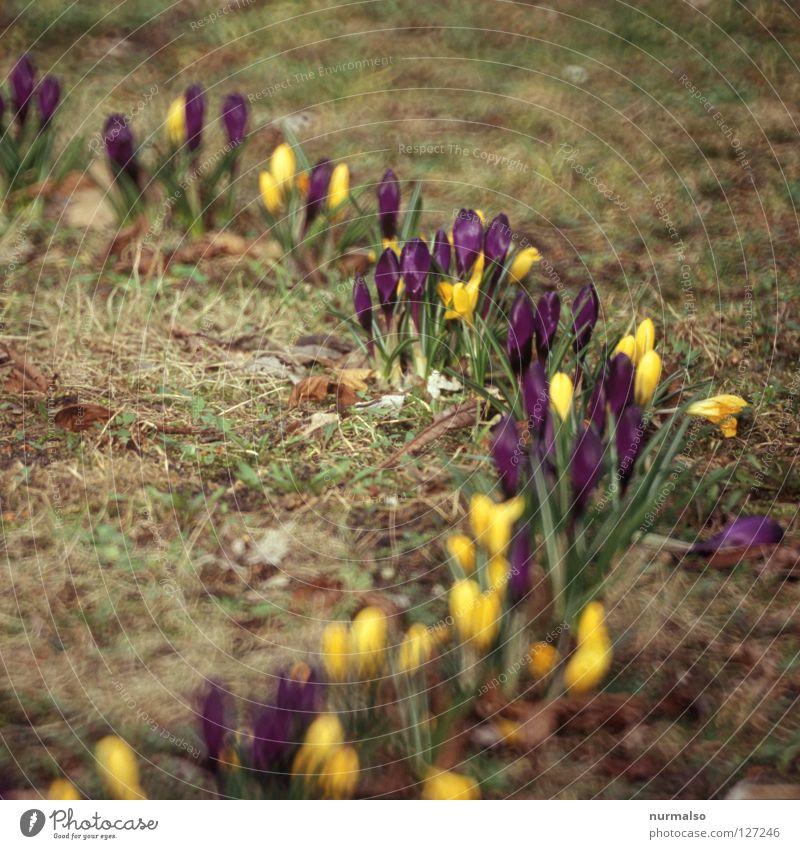 Krokus 200 schön grün Farbe Freude gelb Gefühle Wiese Frühling Garten träumen Wachstum frisch Kreis Beginn Rasen neu