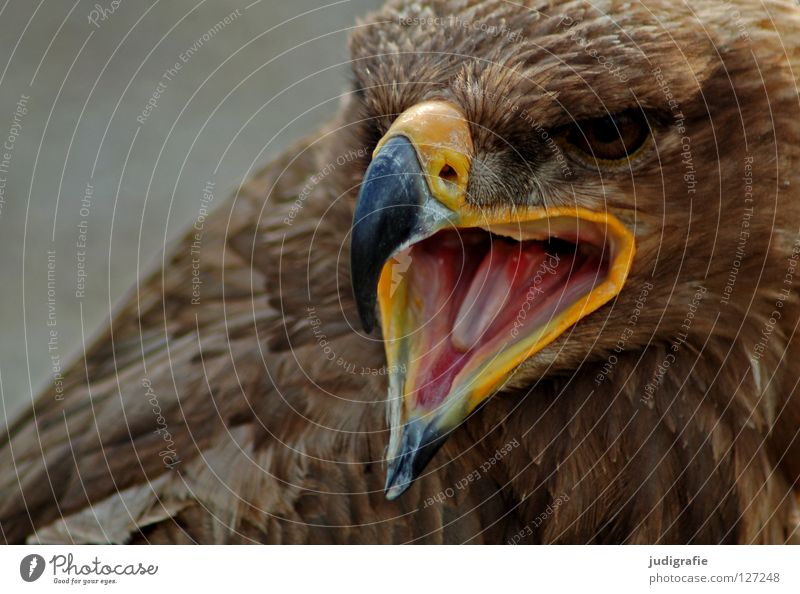Adler Vogel Greifvogel Schnabel Feder Ornithologie Tier schön schreien Umwelt Farbe steppenadler Zunge Stolz Blick Leben Natur