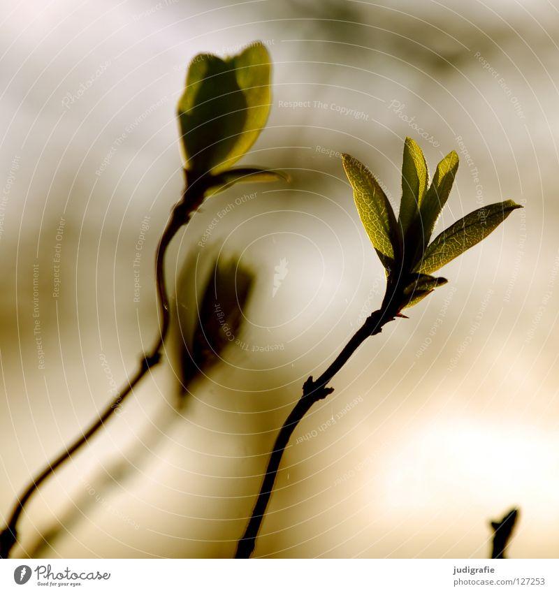 Frühling frisch zart Blatt Licht Gegenlicht Baum Sträucher Umwelt Pflanze Farbe Blütenknospen Trieb neu Zweig Natur