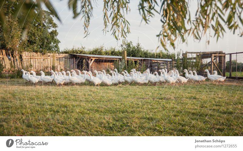 der große Gänsemarsch Umwelt Natur Landschaft Tier Vogel Tiergruppe Schwarm Tierfamilie Zusammenhalt Gans Bauernhof Bioprodukte Biologische Landwirtschaft