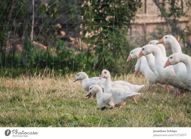 mein erster Gänsemarsch Natur Pflanze Tier Freude Umwelt Familie & Verwandtschaft Freiheit Vogel Freundschaft Idylle Erfolg laufen Geschwindigkeit Tiergruppe