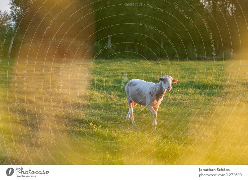 Shaun das Schaf Umwelt Natur Landschaft Sommer Schönes Wetter Pflanze Gras Wiese Tier Nutztier 1 Lebensfreude Bauernhof einzeln Idylle Sonnenstrahlen Abendsonne