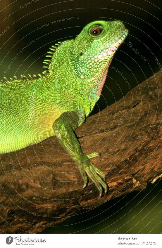 Hab ich da was am Kinn? grün Tier Haut Körperhaltung Ast Zoo gefangen Ackerbau Scheune Reptil Krallen Gehege Echsen gepanzert Kamm Leguane