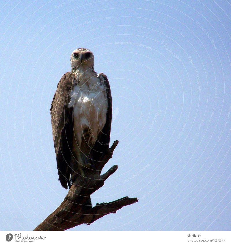 Ah, lecker Kleintier! Himmel blau Freiheit Kraft Vogel fliegen frei Luftverkehr Macht gefährlich Afrika fangen Wildtier Appetit & Hunger Stolz