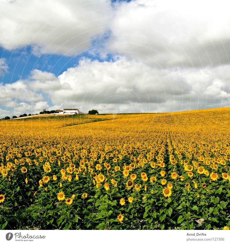 Sonnenblumenfeld IV Natur Himmel weiß Blume blau Sommer Haus Wolken gelb Arbeit & Erwerbstätigkeit Frühling Glück Gebäude Landschaft Feld Horizont
