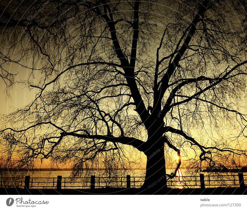 Morgen Laubbaum Sonnenaufgang See Seeufer schwarz groß gelb Freude Platane ahornblättrige Platane Platanengewächse Parkbaum Strassenbaum Langschläfer gold